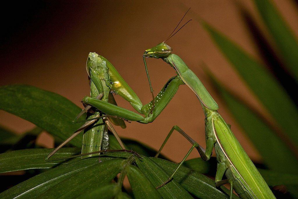 1024px-Praying_Mantis_Sexual_Cannibalism_European-37